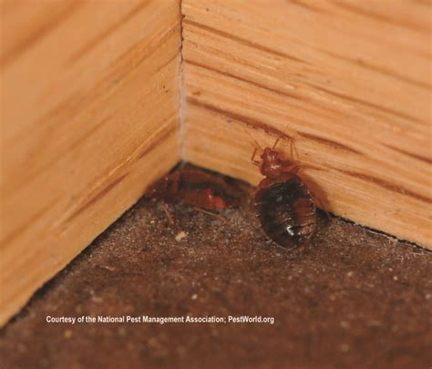 how many bed bugs are in a bed 43 best images about bed bugs on nymphs signs