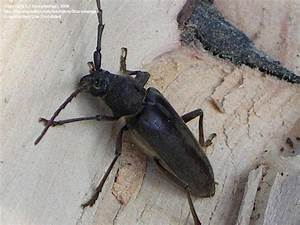 Bug Pictures: Pine Sawyer Beetle (Ergates spiculatus) by ...
