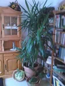 Große Zimmerpflanzen Kaufen : gro e zimmerpflanzen palme und h ngende in gammelsdorf pflanzen kaufen und verkaufen ber ~ Frokenaadalensverden.com Haus und Dekorationen