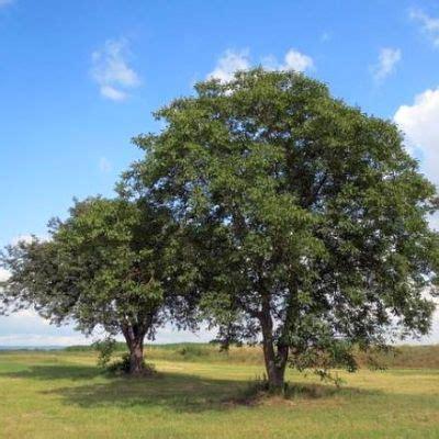 walnussbaum wachstum pro jahr walnussbaum infos zum wachstum pro jahr erster ertrag