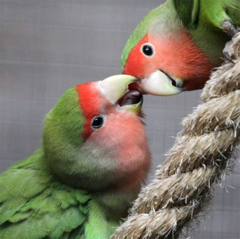 the peach faced lovebird also sometimes called rosy faced has a pink face with red brow green