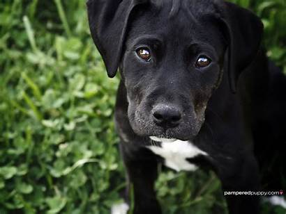 Labrador Retriever Puppy Dogs Lab Background Puppies