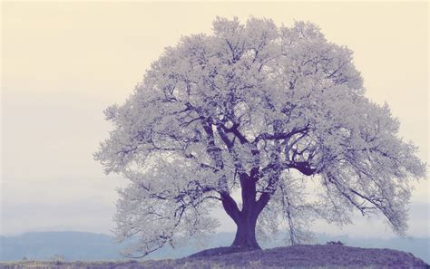 White Pretty Backgrounds pretty white tree wallpapers pretty white