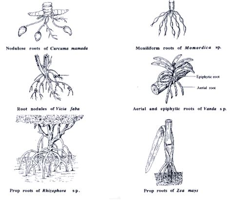 Names Of Modified Roots by Root Modifications Les Racines Roots Science