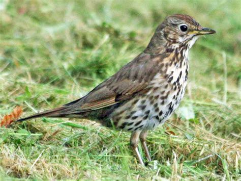Filethrush Song 06 03 Scot Wikimedia Commons