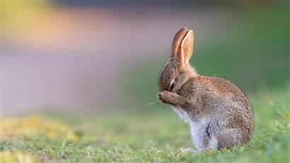 Rabbit Wallpapers Rabbits Bunny Desktop Sleeping Animals