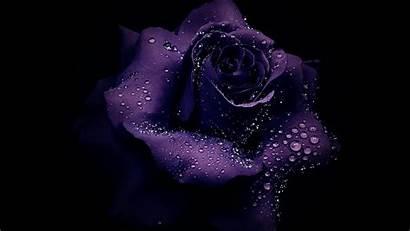 Purple Rose Wallpapers Desktop 1080 1600 1280