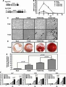 Enhancement Of Osteogenic Differentiation By Bmp