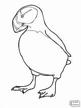 Puffin Coloring Puffins Printable Pages Coloringbay Club Getcolorings Getdrawings sketch template