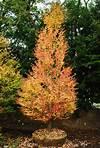Ornamental Trees | Planters' Choice ornamental trees japanese gardens