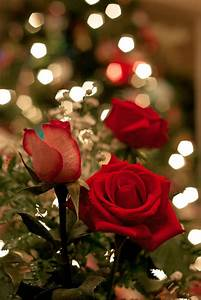beautiful roses pictures photos and images for