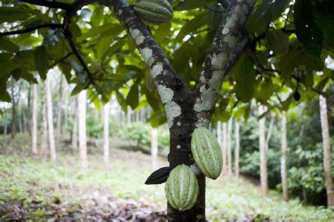 grow   grow theobroma cacao indoors