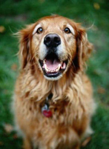 adopting senior golden retrievers pets