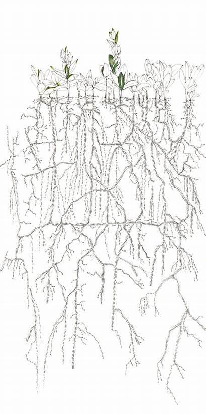 Lise Duclaux Milkweed Native Common Pen Colored