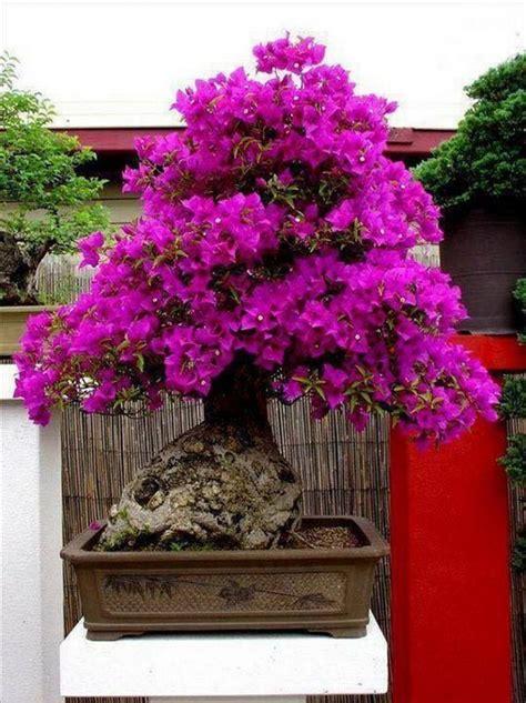 extraordinary beauty  bonsai  owner builder
