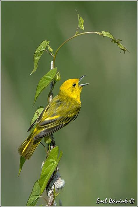 409 best images about yellow warbler on pinterest canada