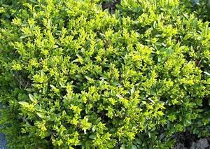 Garten Im März : geschnittene lonicera pileata im maerz ~ Lizthompson.info Haus und Dekorationen