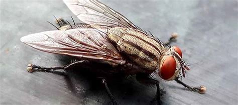 Where Do House Flies Come From?