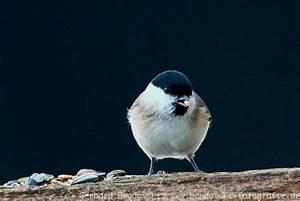 Kleine Vögel Im Garten : v gel im winter winterv gel vogelf tterung bilder ~ Lizthompson.info Haus und Dekorationen