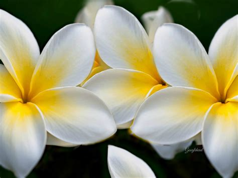 Plumeria Yellow White Flowers Wallpaper Hd  Wallpapers13com