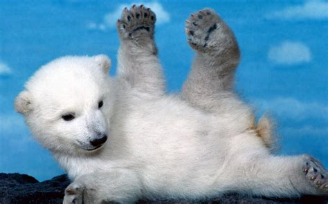 Cool Baby Animal Wallpapers - white cubs skyscapes polar bears baby animals