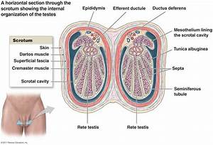 Anatomy Of Human Testicles Pictures Wallpapers
