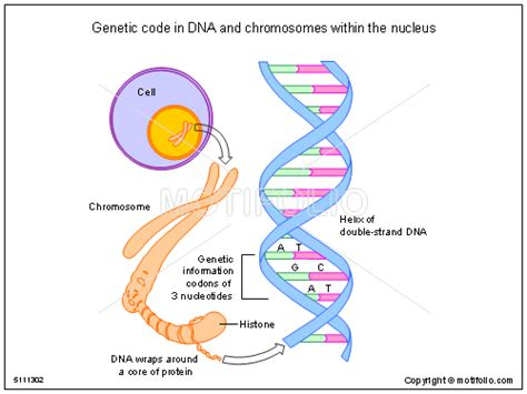 Genetic Diagram Gene Dna by Genetic Code In Dna And Chromosomes Within The Nucleus