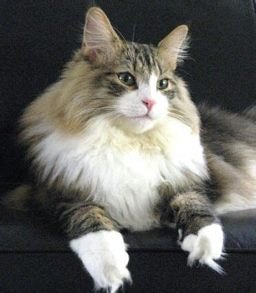 forest cat personality best 20 forest cat personality ideas on