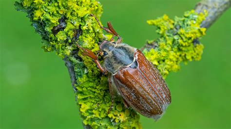 Cockchafer Beetle (Melolontha melolontha) - Woodland Trust