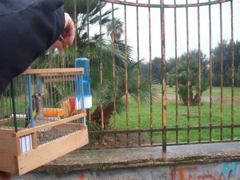 gabbia trappola per cardellini le guardie oipa sequestrano alcuni cardellini