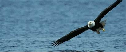 Eagle Bald Funny American Dominate Europeans Allow