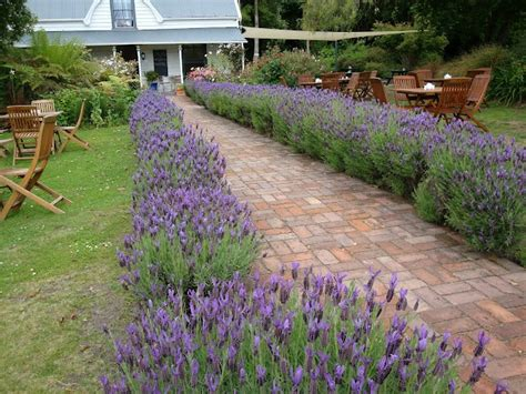 lavender hedge so much better than shrubbery I would