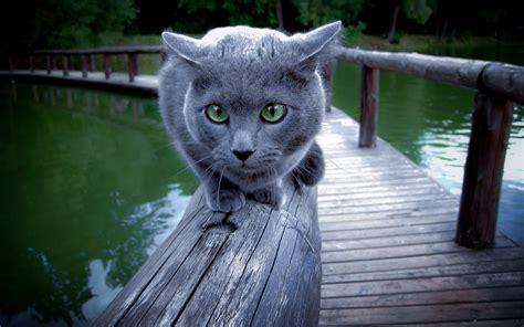 cat russian blue animals wallpapers hd desktop