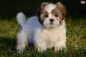 lhasa apso dog breed information buying advice photos