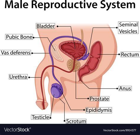 male reproductive system simple diagram anatomy organ