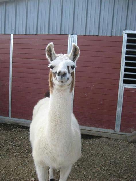 llama smiling 147 best images about lama life on pinterest llama llama duck pets and llama face