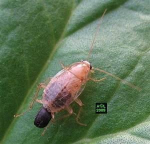 Cafard De Jardin Comment S En Débarrasser : les blattes ~ Mglfilm.com Idées de Décoration