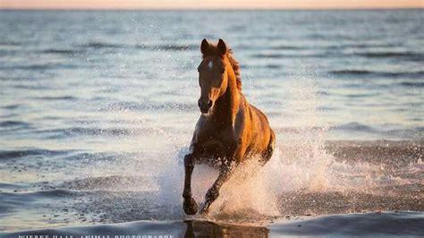 hintergrundbilder pferde  strand kostenlos herunterladen
