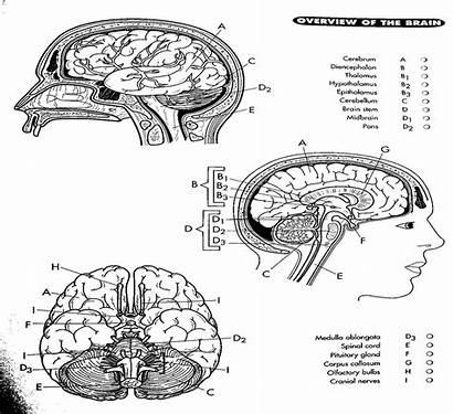 Coloring Brain Pages Diagram Anatomy Nerve Cranial