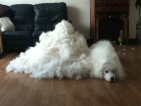 great pyrenees shedding season 6 ways to stop living your covered in effing hair