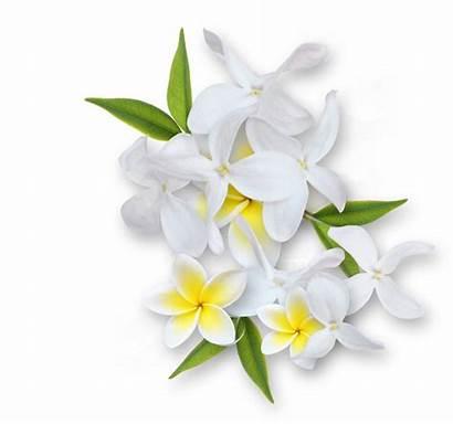 Flower Clipart Jasmine Clip Transparent Album Clusters