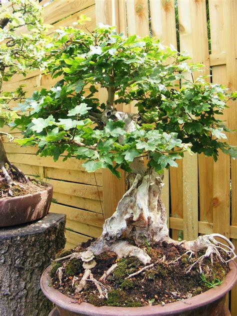Bonsai Baum Pflanzen by Bonsai Feldahorn Ahorn Baum Pflanzen Schale