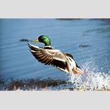 Drake Mallard Duck   960 x 631 jpeg 189kB
