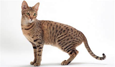 Savannah Cat Breed Information