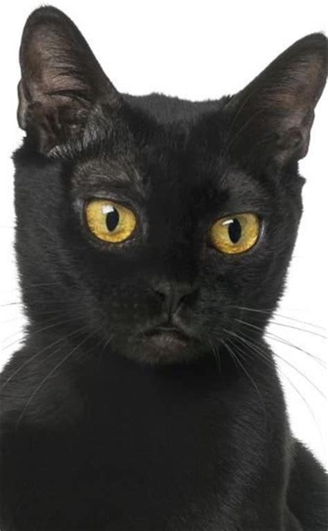 bombay cat cat breeds encyclopedia