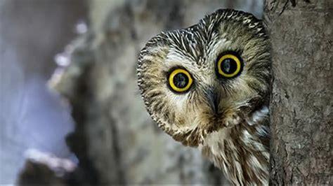 owl theme  windows