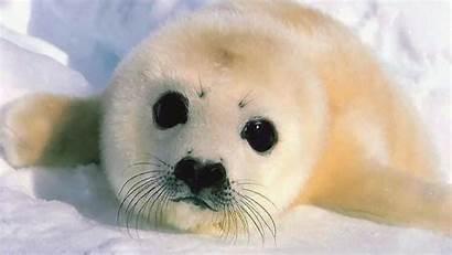 Seal Wallpapers