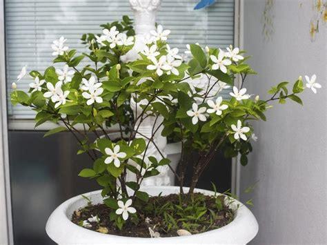 st 233 phanotis planter et cultiver le de madagascar