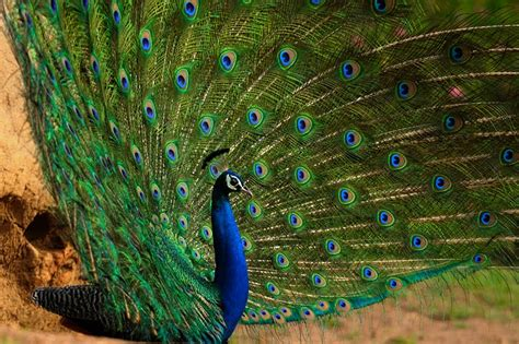 gorgeous courtship dance  indias national bird