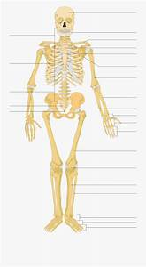 Photos Human Diagram No Labels Anatomy Labelled